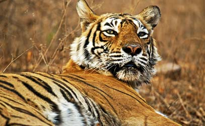Pench National Park - Saffron Dreams India