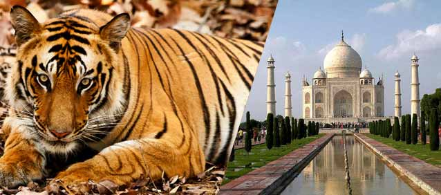 Bengal Tiger with Taj Mahal