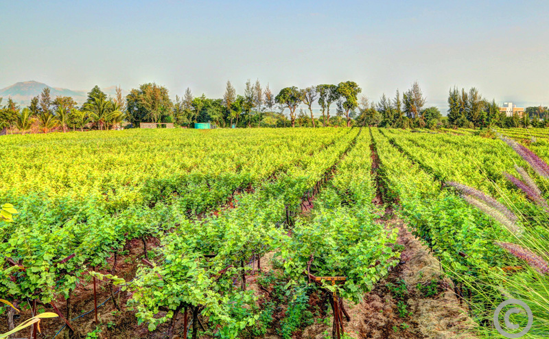 Large vineyard surrounded by trees