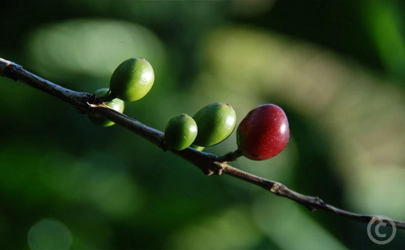 Coffee beans still in pods growing on a branch