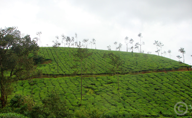 Hill covered in coffee plants